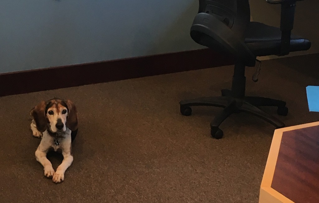 Cheeko the Office Dog